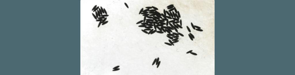 Ovo mosquito da dengue